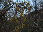 http://wwmushroom.ru/i.php?/galleries/Crimea/Crimea_20150303/Cornus_mas_Cr_Cr_SHb_HAJ_20150303_01-01-th.JPG