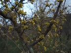 http://wwmushroom.ru/i.php?/galleries/Crimea/Crimea_20150303/Cornus_mas_Cr_Cr_SHb_HAJ_20150303_01-02-th.JPG