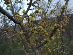 http://wwmushroom.ru/i.php?/galleries/Crimea/Crimea_20150303/Cornus_mas_Cr_Cr_SHb_HAJ_20150303_01-03-th.JPG