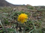 http://wwmushroom.ru/i.php?/galleries/Crimea/Crimea_20150303/Taraxacum_sp_Cr_Cr_SHb_HAJ_20150303_01-01-th.JPG