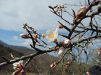 http://wwmushroom.ru/i.php?/galleries/Crimea/Crimea_20150307/Prunus_dulcis_Cr_Cr_SHb_HAJ_20150307_01-01-th.JPG
