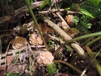 http://wwmushroom.ru/i.php?/galleries/Crimea/Crimea_20150507/Morchella_sp.esculenta_Fun_Cr_Kbh_HAJ_20150507_02-01-th.JPG