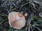 http://wwmushroom.ru/i.php?/galleries/Crimea/Crimea_20151114/Lactarius_sanguifluus_Fun_Cr_MkM_HAJ_20151114_01-03-th.JPG
