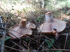 http://wwmushroom.ru/i.php?/galleries/Crimea/Crimea_20151114/Lactarius_sanguifluus_Fun_Cr_MkM_HAJ_20151114_03-02-th.JPG