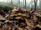 http://wwmushroom.ru/i.php?/galleries/Crimea/Crimea_20151201/Armillaria_mellea_Fun_Cr_SHb_HAJ_20151201_01-01-th.JPG
