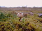 http://wwmushroom.ru/i.php?/galleries/Crimea/Crimea_20160129/Tulostoma_brumale_Fun_Cr_Fds_HAJ_20160129_01-03-th.JPG